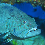 � Joseph Dougherty. All rights reserved.   Mycteroperca bonaci  Poey, 1860  Black Grouper    Large Black Grouper at a cleaning station, having parasites picked off by a bunch of Caribb ...