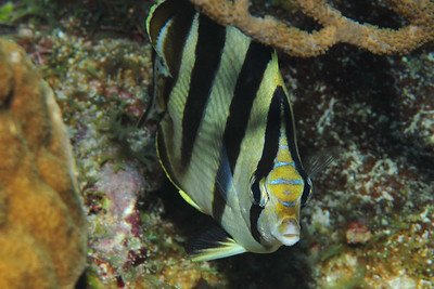 © Joseph Dougherty.  All rights reserved.   Chaetodon striatus   Linnaeus, 1758 Banded Butterflyfish   Belize Barrier Reef, Ambergris Caye, Belize.