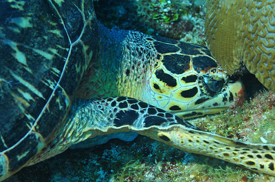 © Joseph Dougherty.  All rights reserved.  Eretmochelys imbricata  (Linnaeus, 1766) Hawksbill Sea turtle  This Hawksbill was observed on the Mayan Barrier Reef, foraging beneath coral heads for tasty morsels.  It seemed indifferent to my presence.   Belize Barrier Reef, Ambergris Caye, Belize.