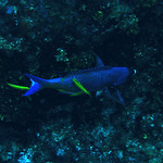 � Joseph Dougherty. All rights reserved.   Clepticus parrae  (Bloch & Schneider, 1801)   Creole Wrasse    Creole wrasse being cleaned by several juvenile bluehead wrasses acting as cle ...