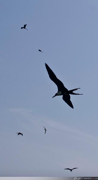 Frigate Birds, Lighthouse Caye.