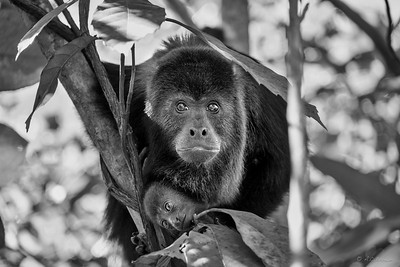 Brown-Angela_Howler Monkey