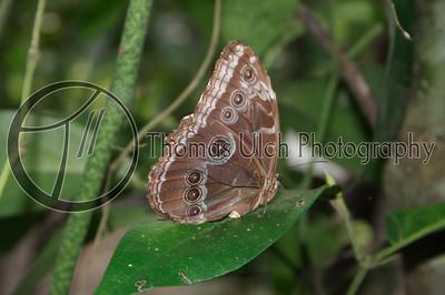 Common Morpho butterfly. San Ignacio, Belize.