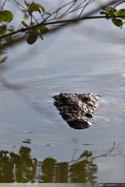 Salt water crocodile, Ambergris Caye.