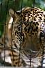 Jaguar, Belize Zoo