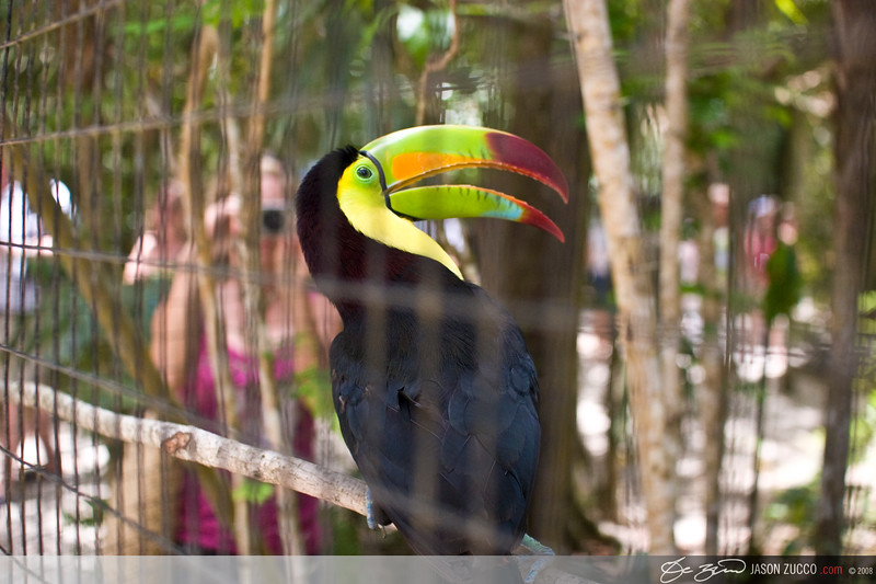 Keel Billed Toucan, Belize Zoo