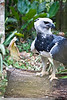 Harpy Eagle, Belize Zoo (At present, only nine known individuals exist in the jungles of Belize)