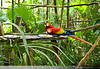 Scarlet Macaw, Belize Zoo