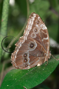 Common Morpho butterfly. San Ignacio, Belize.