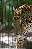 Jaguar, Belize Zoo