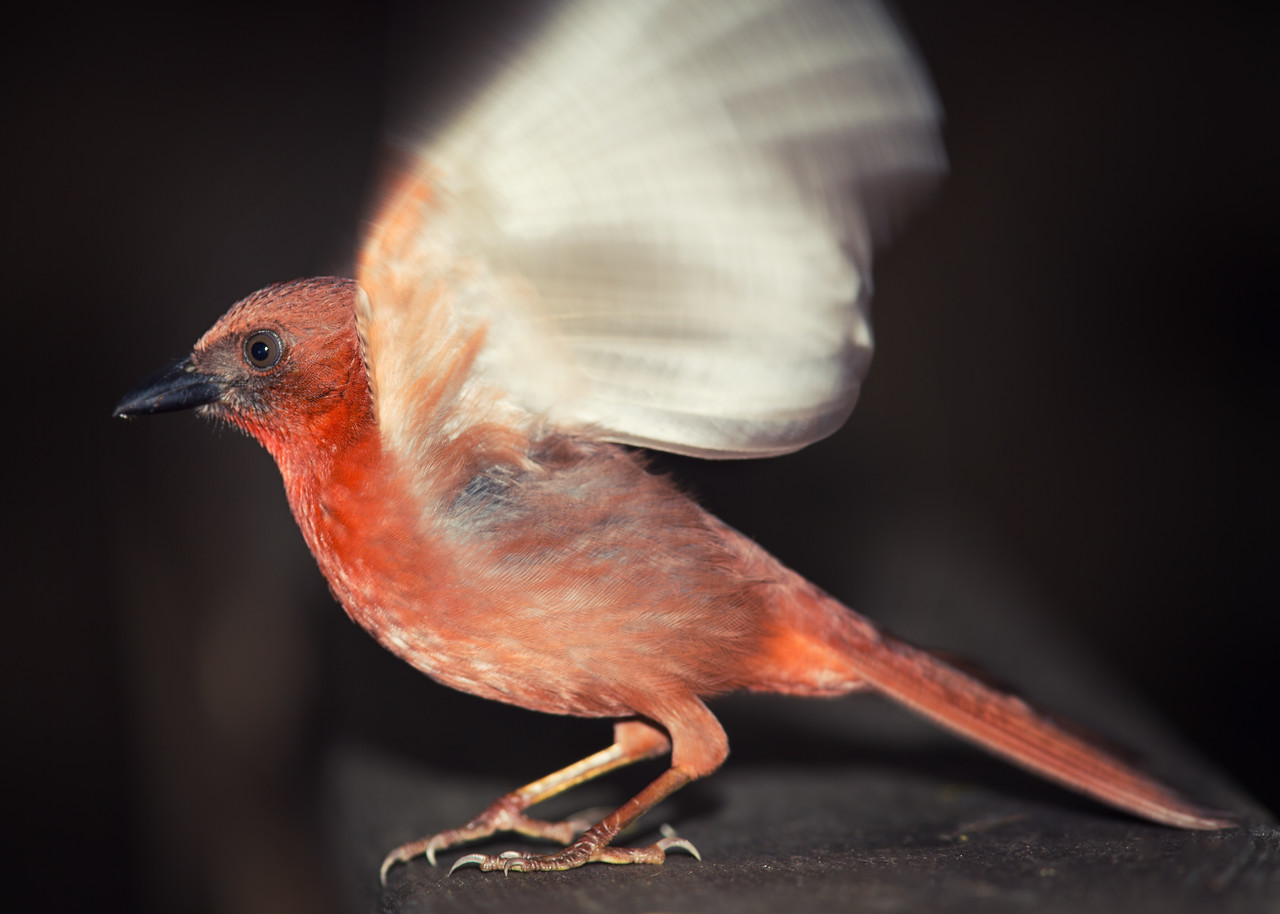 Red-throated Ant Tanager