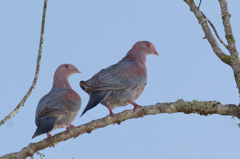 Pale-vented Pigeons