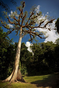 Ancient Ceiba Tree
