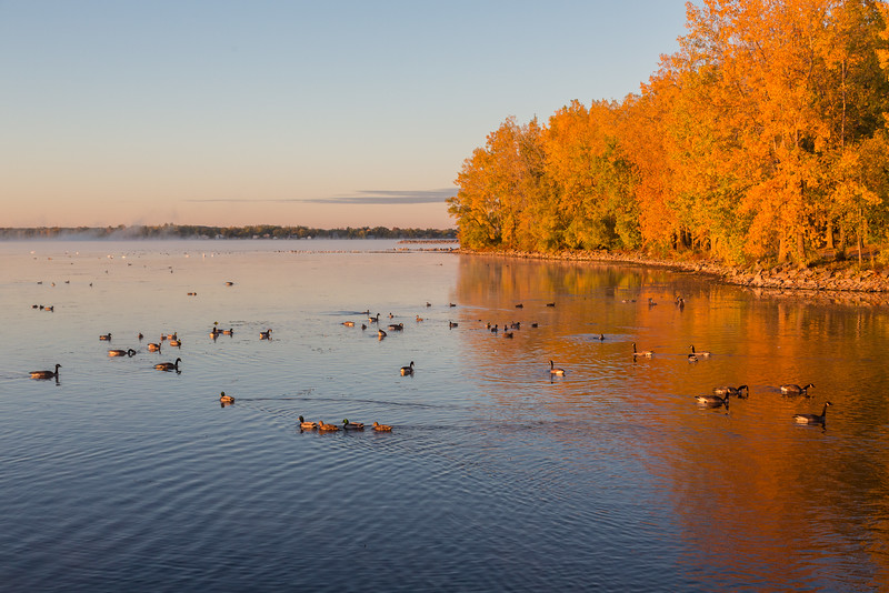 Waterfowl and fog just after sunrise on the Bay of Quinte.