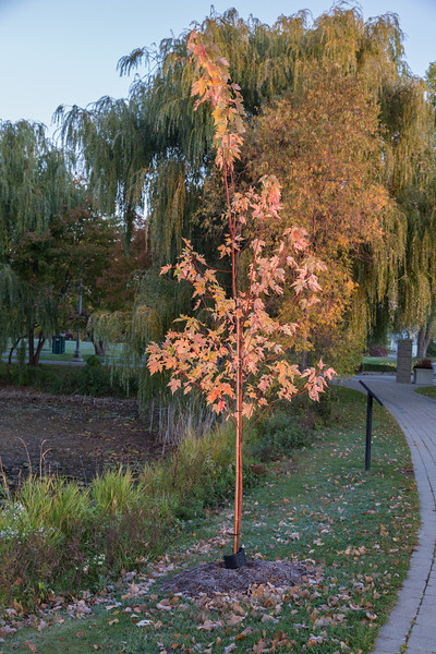 Small maple tree at sunrise.