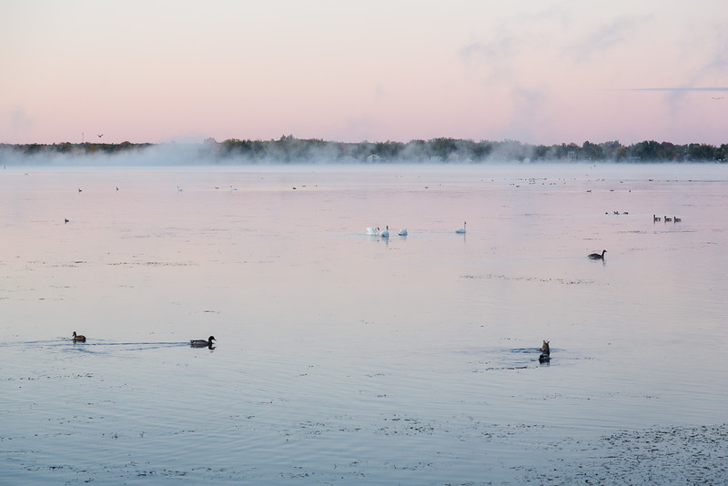 Waterfowl and fog before sunrise on the Bay of Quinte.