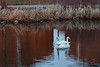 Two swans along the Bay of Quinte shoreline.