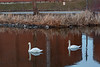 Two swans by the Pollution Control Plant.