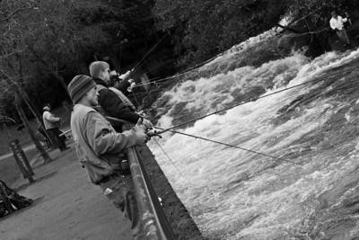 Thanksgiving Day fishing rush at Whatcom Creek in downtown Bellingham, WA.