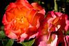 Floribunda Rose - Mardi Gras Blend - Bellingrath Gardens