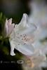 White Azalea in Full Bloom - Bellingrath Gardens