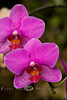 Purple Orchids Lining up for their Picture - Bellingrath Gardens