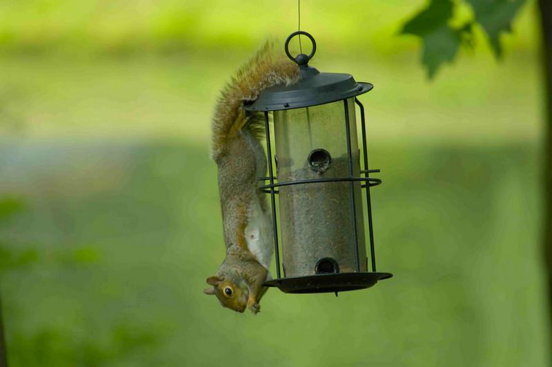 Squirrel on Feeder 001