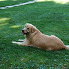 Montana, our Golden Retriever,  hanging out in the yard of the Elk Country Hideaway