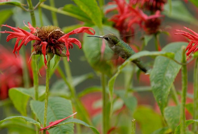 Humming Bird on Bee Balm