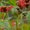 Humming Bird on Bee Balm