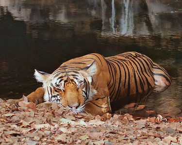 Bengal Tiger photographs from the Ranthambhore National Park and Tiger Reserve, India.  Second morning at 6AM, a female after a fresh kill heading to a pond to stay cool and digest.  In some views you can see her bulging stomache.