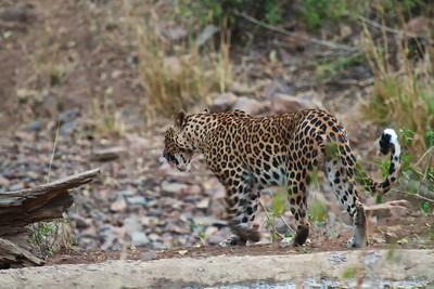 Photos of a rare Leopard encounter from the Ranthambhore National Park and Tiger Reserve, India