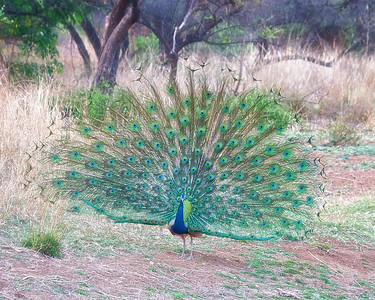 Photos of Peacocks, some males in full display, from the Ranthambhore National Park and Tiger Reserve, India.