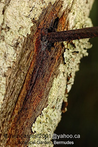 Bermuda; old rust nail in a tree and the wound / clou rouillé dans un arbre et sa blessure