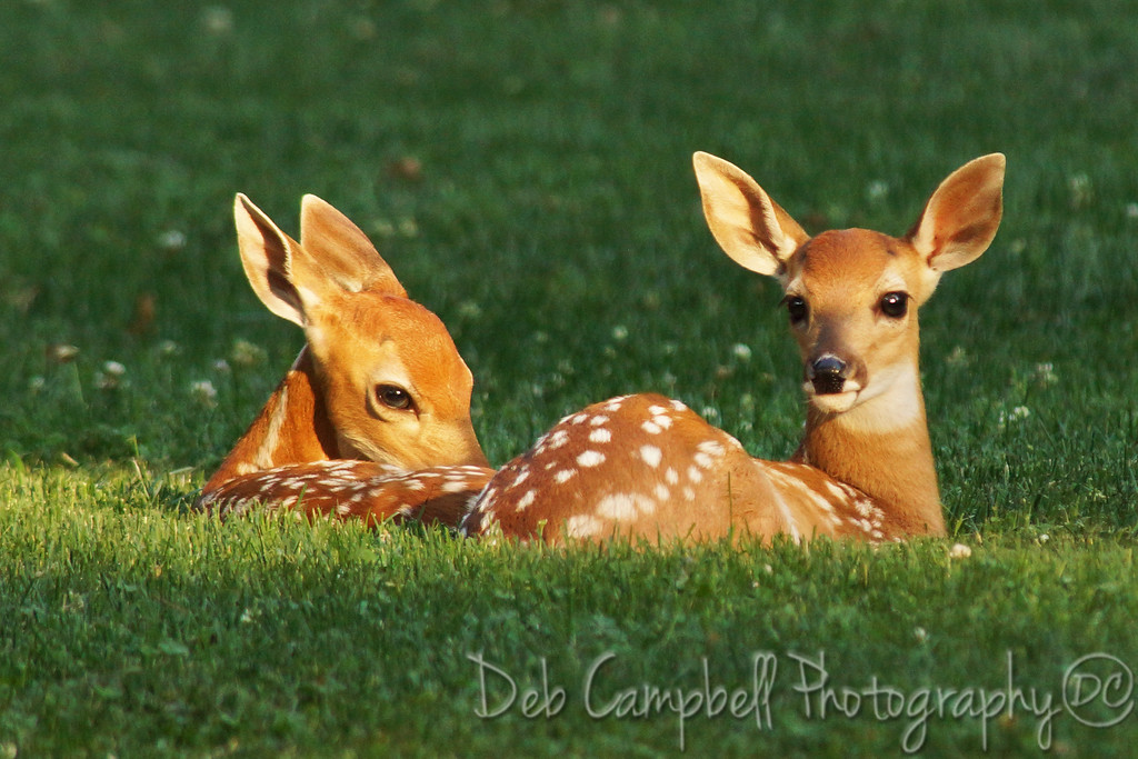 Doe And Fawn Laying Down