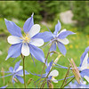 Wild Columbines - State Flower of Colorado.