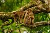 Sunda Pig-tailed Macaque