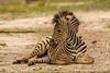 Burchell's Zebra aka Plains Zebra Foal