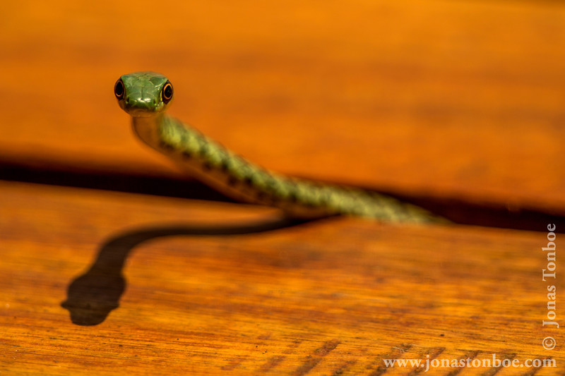 Green Spotted Bush Snake aka Spotted Bush Snake