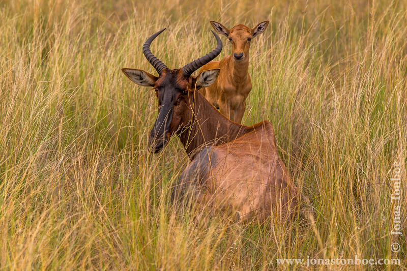 Female Common Tsessebe and Calf