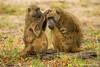 Chacma Baboon Grooming