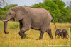 Female and Baby African Bush Elephant