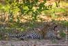 African Leopard Cub Yawning