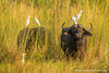 Cape Buffalo aka Southern Savanna Buffalo and Cattle Egret