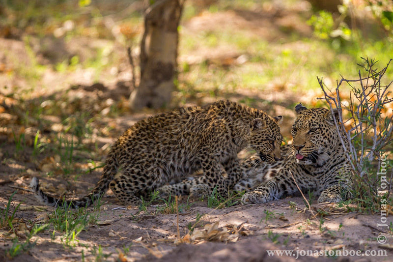 Female African Leopard and Cub