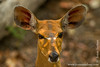 Female Bushbuck