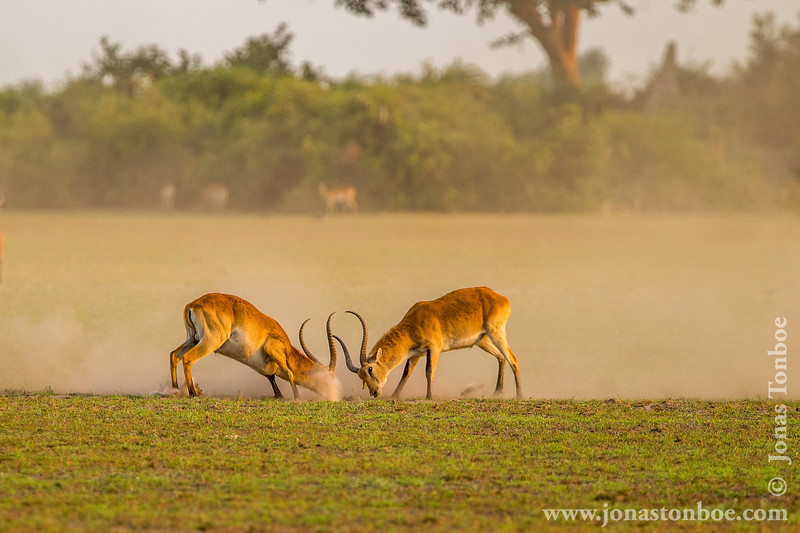 Male Red Lechwe Fighting