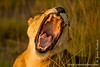 Female African Lion Yawning