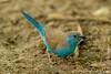 Blue Waxbill aka Southern Blue Waxbill aka Blue-breasted Waxbill