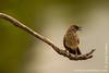 Arrow-marked Babbler